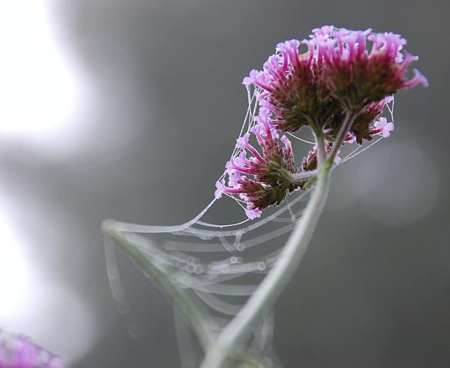 cobwebbed flower